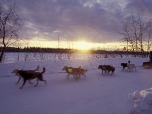 Dog Sled Racing in the Iditarod Sled Race, Alaska, USA by Paul Souders