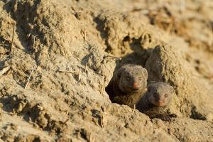 Dwarf Mongoose, Chobe National Park, Botswana by Paul Souders