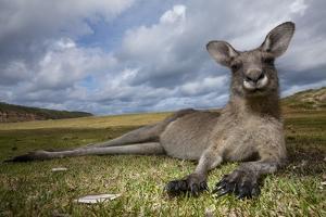 Eastern Gray Kangaroo in Murramarang National Park by Paul Souders