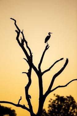 Egret, Savuti Marsh, Chobe National Park, Botswana by Paul Souders