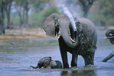 Elephant and Calf Cooling Off in River by Paul Souders