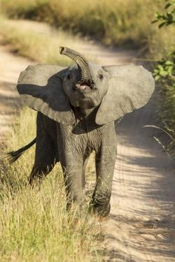 Elephant Calf, Sabi Sabi Reserve, South Africa by Paul Souders