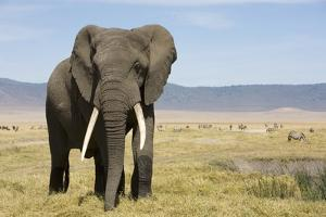 Elephant in Ngorongoro Conservation Area, Tanzania by Paul Souders