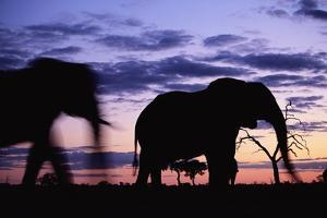 Elephants Silhouetted at Dusk by Paul Souders