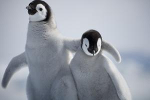 Emperor Penguin Chicks in Antarctica by Paul Souders