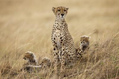 Female Cheetah with Cubs in Tall Grass by Paul Souders