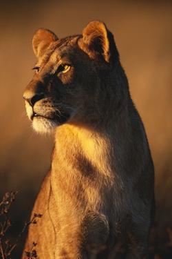 Female Lion by Paul Souders