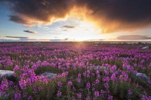 Fireweed, Hudson Bay, Canada by Paul Souders