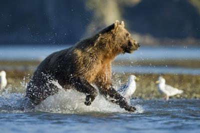 Fishing Brown Bear in Katmai National Park by Paul Souders