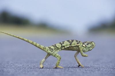 Flap-Necked Chameleon Runs across a Road by Paul Souders