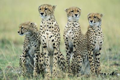Four Cheetahs by Paul Souders