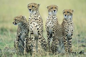 Four Cheetahs by Paul Souders