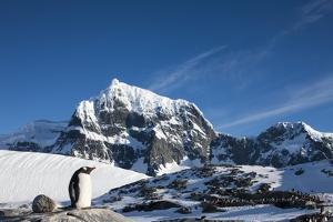 Gentoo Penguin, Antarctica by Paul Souders