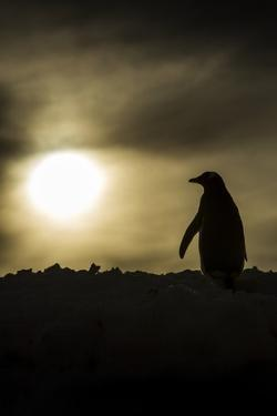 Gentoo Penguin at Sunset, Antarctica by Paul Souders