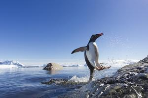 Gentoo Penguin on Cuverville Island, Antarctica by Paul Souders