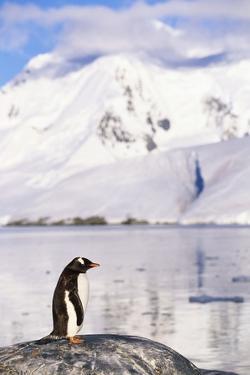 Gentoo Penguin by Paul Souders
