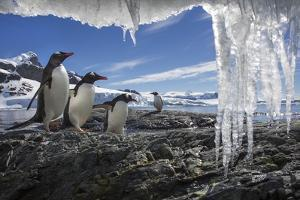 Gentoo Penguins and Icicles, Antarctica by Paul Souders