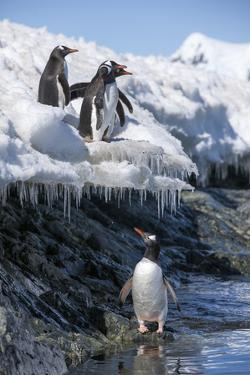Gentoo Penguins on Cuverville Island, Antarctica by Paul Souders