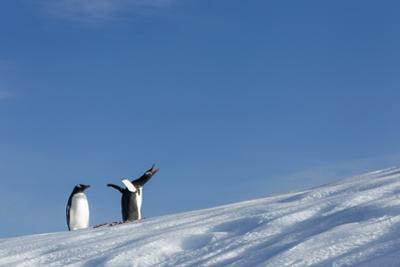 Gentoo Penguins on Iceberg, Antarctica by Paul Souders