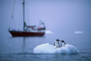 Gentoo Penguins Perching on Small Iceberg by Paul Souders