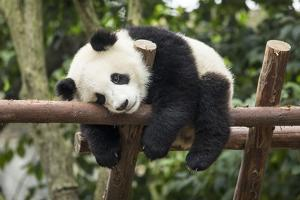 Giant Panda Cub, Chengdu, China by Paul Souders
