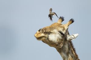Giraffe and Pesky Bird, Moremi Game Reserve, Botswana by Paul Souders