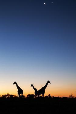 Giraffe, Makgadikgadi Pans National Park, Botswana by Paul Souders