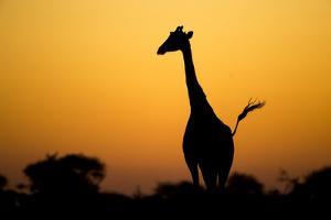 Giraffe, Nxai Pan National Park, Botswana by Paul Souders