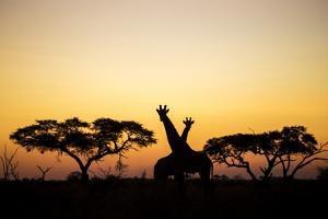 Giraffes at Dusk, Chobe National Park, Botswana by Paul Souders