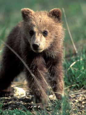 Grizzly Bear Cub in Alpine Meadow near Highway Pass, Denali National Park, Alaska by Paul Souders