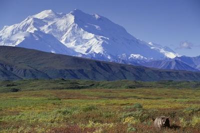 Grizzly Bear Feeding on Tundra Below Mt. Mckinley by Paul Souders
