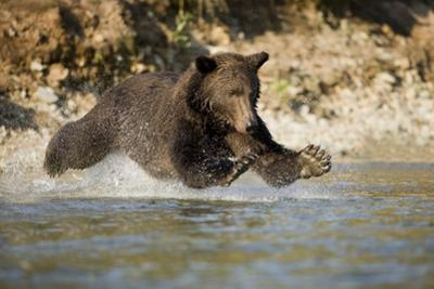 Grizzly Bear Hunting Spawning Salmon in River at Kinak Bay by Paul Souders