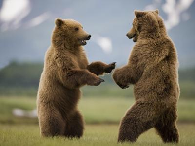 Grizzly Bears Sparring at Hallo Bay in Katmai National Park by Paul Souders