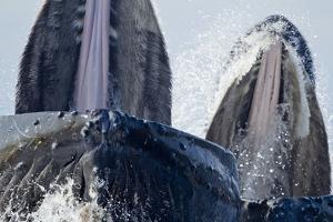 Group Feeding Humpback Whales, Alaska by Paul Souders