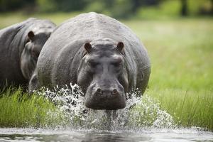 Hippopotamus in Chobe National Park by Paul Souders