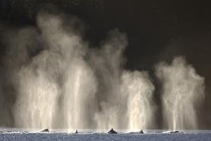 Humpback Whales Spouting While Feeding in Chatham Strait by Paul Souders