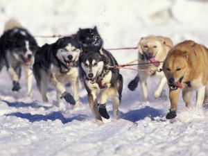 Iditarod Dog Sled Racing through Streets of Anchorage, Alaska, USA by Paul Souders