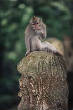 Indonesia, Bali, Ubud, Long Tailed Macaque in Monkey Forest Sanctuary by Paul Souders