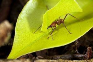 Leaf Cutter Ant in Costa Rica by Paul Souders