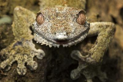 Leaf Gecko, Madagascar