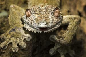 Leaf Gecko, Madagascar by Paul Souders