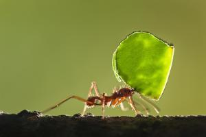 Leafcutter Ant, Costa Rica by Paul Souders