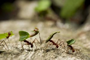 Leafcutter Ants, Costa Rica by Paul Souders