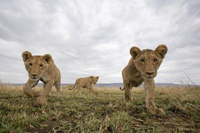 Lion Cubs in Masai Mara Game Reserve, Kenya by Paul Souders