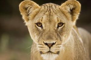 Lion in Kgalagadi Transfrontier Park by Paul Souders