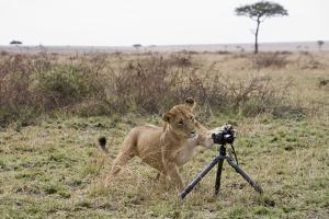Lioness and Camera, Kenya by Paul Souders