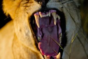 Lioness Yawning, Sabi Sabi Reserve, South Africa by Paul Souders