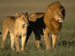 Male and Female Lion by Paul Souders