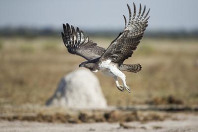 Martial Eagle, Nxai Pan National Park, Botswana by Paul Souders