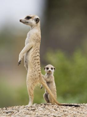 Meerkat and Pup, Namibia by Paul Souders